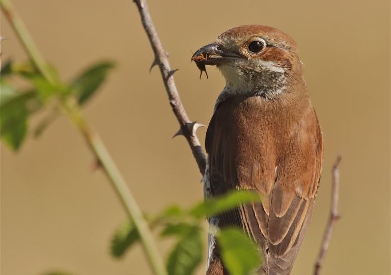 Rhoen-Neuntöter-Weibchen 5844_1