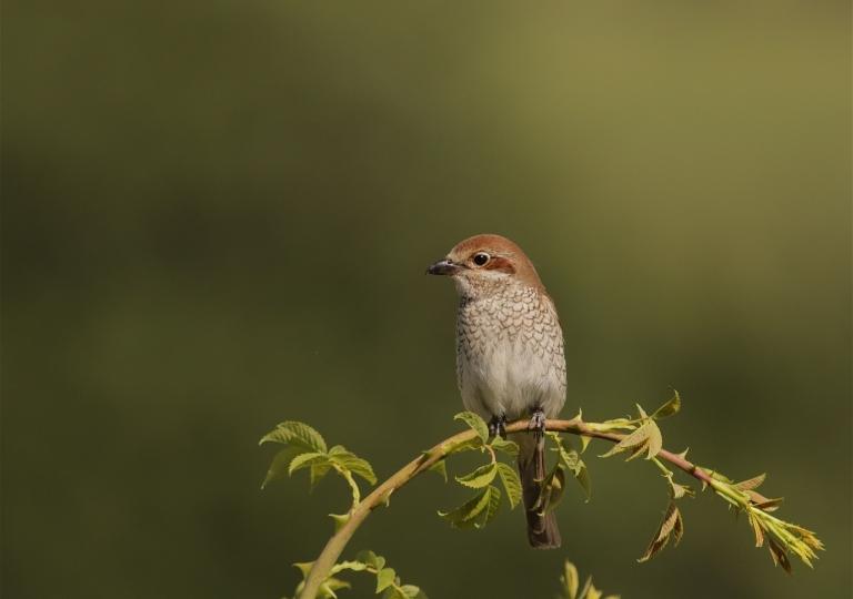 Rhoen-Neuntöter-Weibchen 5706_1